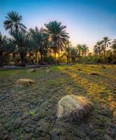 Tanam padi di Arab Saudi